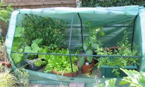 cold frame view 27-6-10