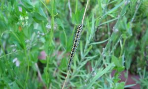 Toadflax Brocade Moth Caterpillar 1-7-14