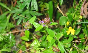 self heal & creeping jenny 23-6-10