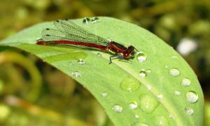 Large red damselfly 2-6-10