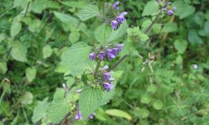 black horehound 29-6-10