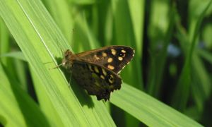 Speckled Wood Butterfly 14-5-14