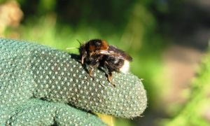Tree bee (cuckoo bee)