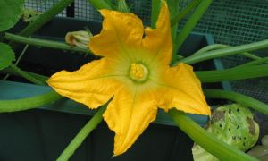 courgette flower19-6-10