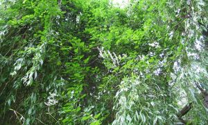 russian vine in weeping willow tree  20-6-10