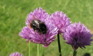 chives and bee 3-6-10