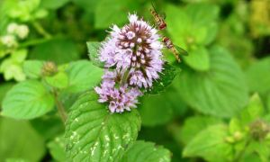 Water mint & hoverflies 31-7-10