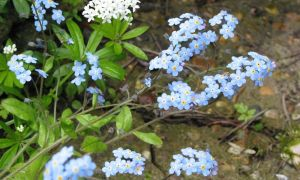 forget me not & sweet woodruff 9-5-10