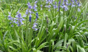 Bluebells & Grape Hyacinths 28-4-10