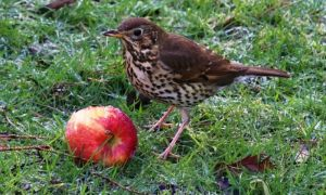 Song Thrush - Jan 2015