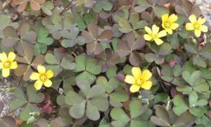 purple leaved yellow oxalis 6-6-10
