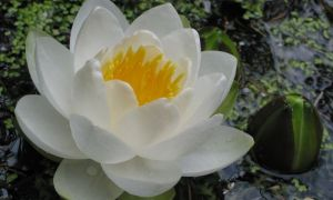 water lily 6-7-10
