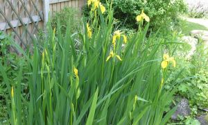 yellow flag iris 4-6-10