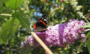red admiral on buddleia 3-9-12