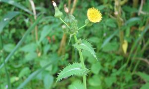 smooth sow-thistle 25-6-10