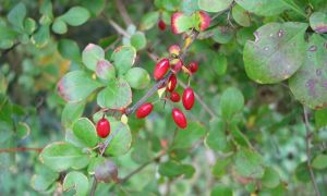 berberis berries 26-9-10