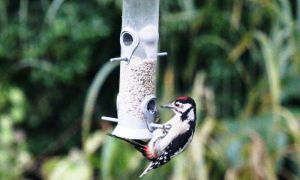 spotted woodpecker2014