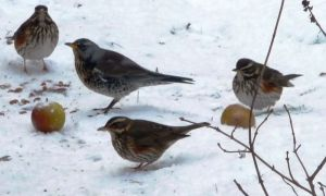 Fieldfare and Redwings 9-1-10