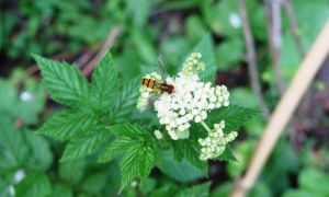 Meadowsweet & hoverfly 22-7-10