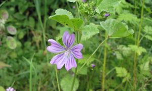 common mallow 24-6-10