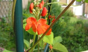 runner bean flowers 25-6-10